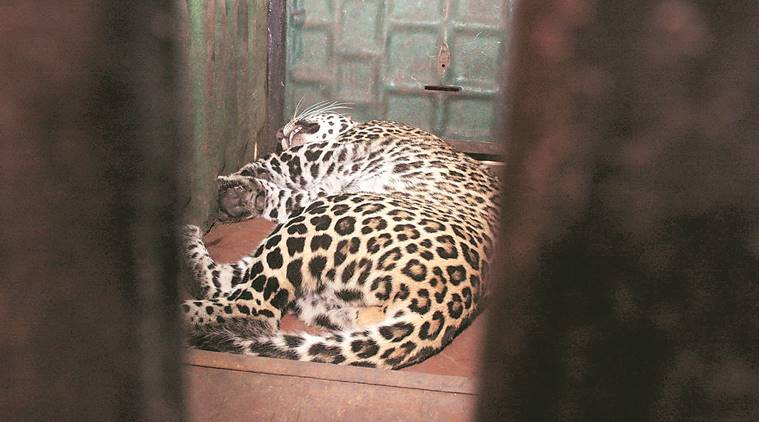 Leopard strays into Thane mall, hotel; rescued after four-hour operation