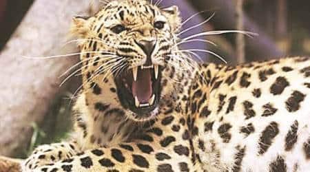 Gujarat: 5-yr-old boy dies in leopard attack in Bharuch