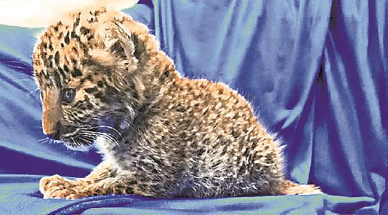 Air passenger held in Chennai for smuggling leopard cub from Thailand