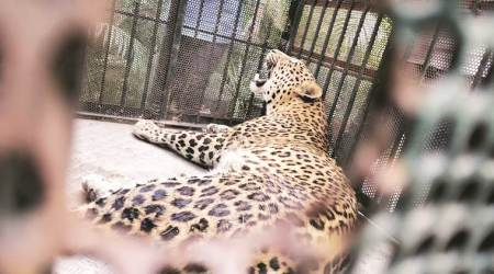 Human-Animal conflict: Leopards find perfect hunting ground in Surat farm; 10 captured in 5 years