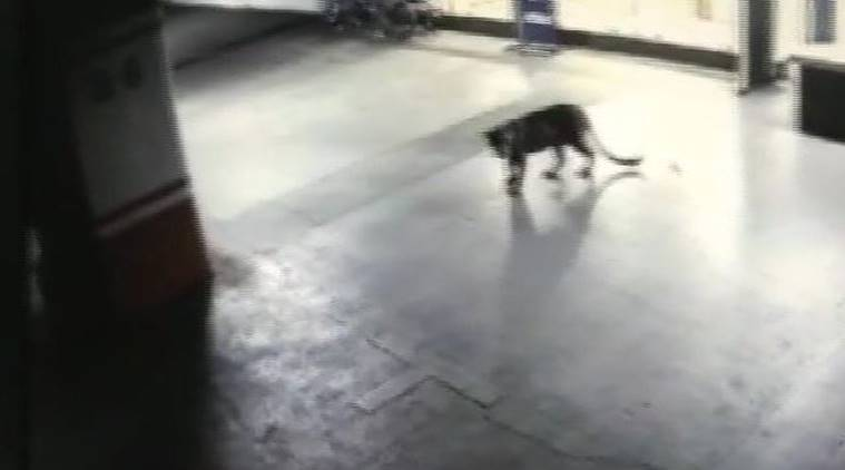 Leopard spotted at Thane mall, hotel basement, captured after six hours