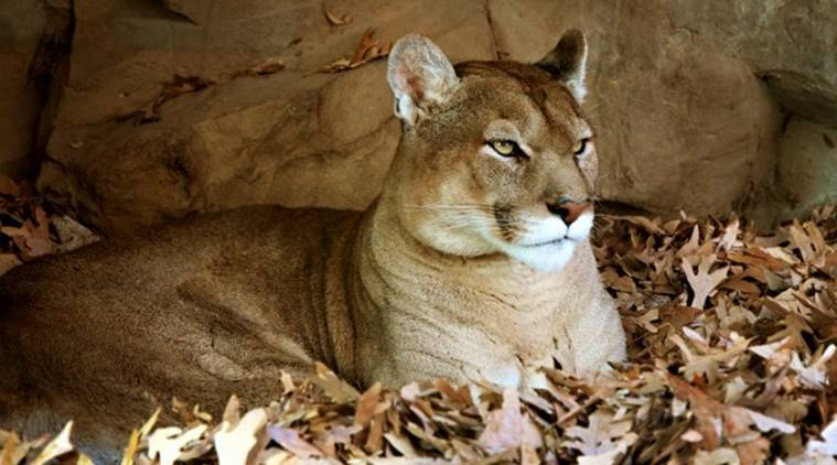 Mountain lion face - photo#39
