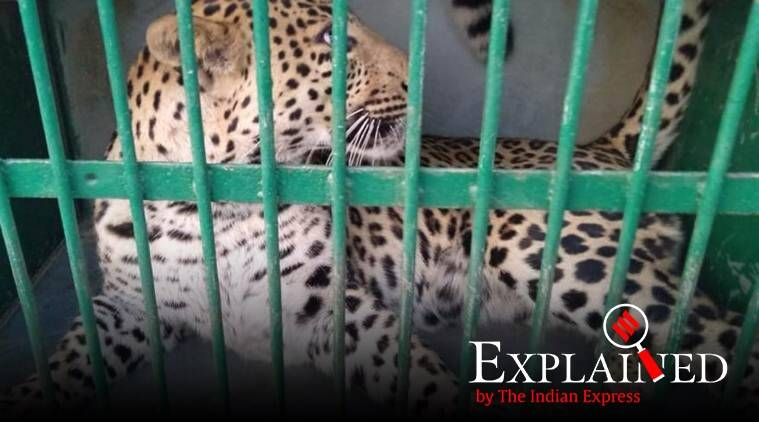 leopards, stray leopard, leopard attack. man animal conflict, man leopard conflict, man animal conflict explained, indian express