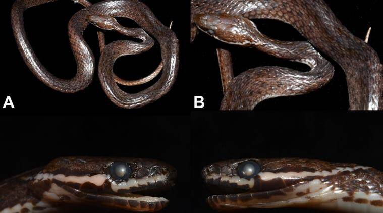 Crying Keelback: Guwahati Researcher Finds New Snake In Arunachal, Says There Could Be Many More Lurking In Bushes