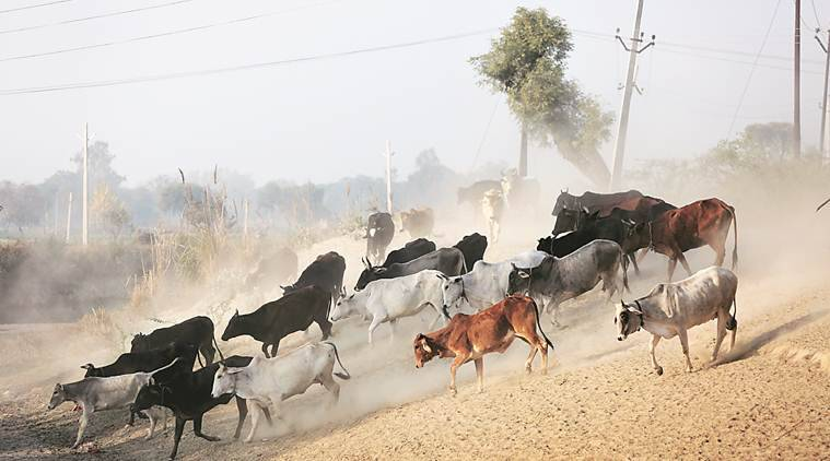 UP stray cattle, UP stray cattle cases, UP farmers, UP police, UP cow shelters, indian express, india news, latest news