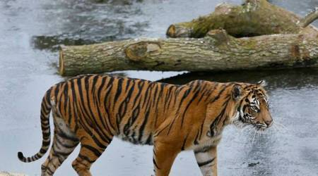 tigers, london, london zoo, two tigers dead, two tigers dead in london zoo, world news, indian express news