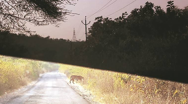 Gujarat: No sign of tiger in Mahisagar forest range, search on