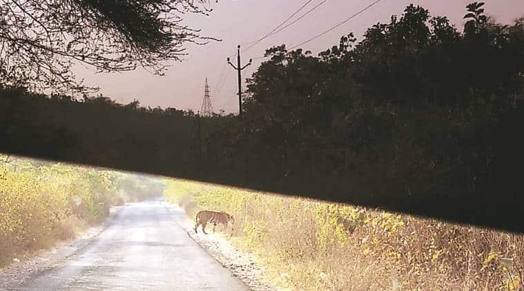 Gujarat, Gujarat Tiger, Tiger Gujarat, Mahisagar forest Tiger, Tigers Boriya village, Boriya village tiger, Gujarat news, indian express, latest news