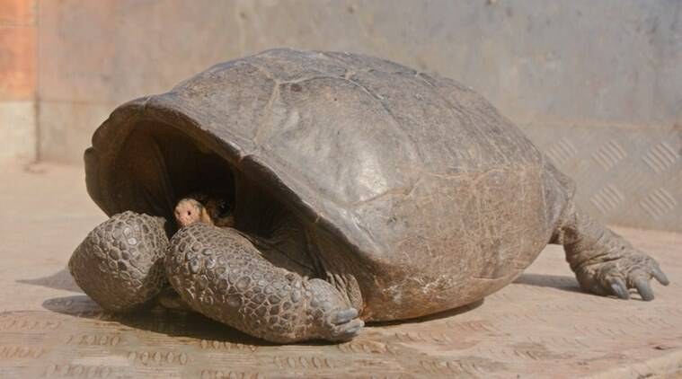 Park rangers and the Galapagos Conservancy found the phantasticus tortoise, a species that was thought to have become extinct one hundred years ago. (Galapagos National Park via AP)