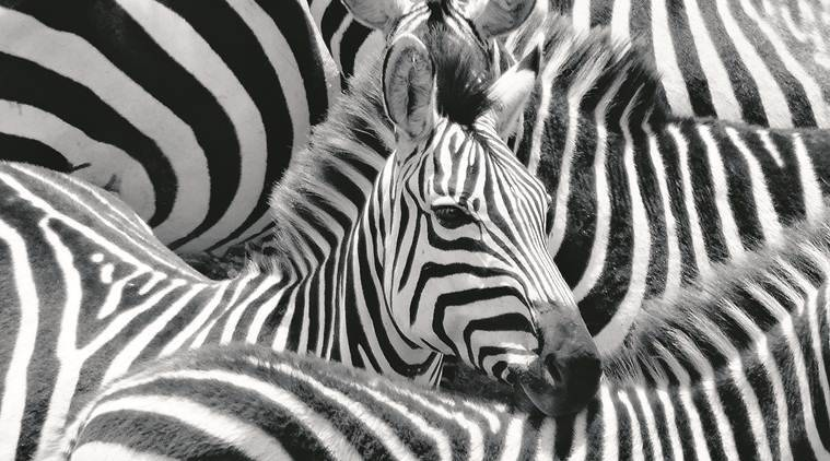 Tip For Reading List: Why Do Zebras Have Stripes?