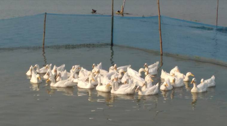 As ducklings perish, Tripura's ambitious plan is bogged down for now