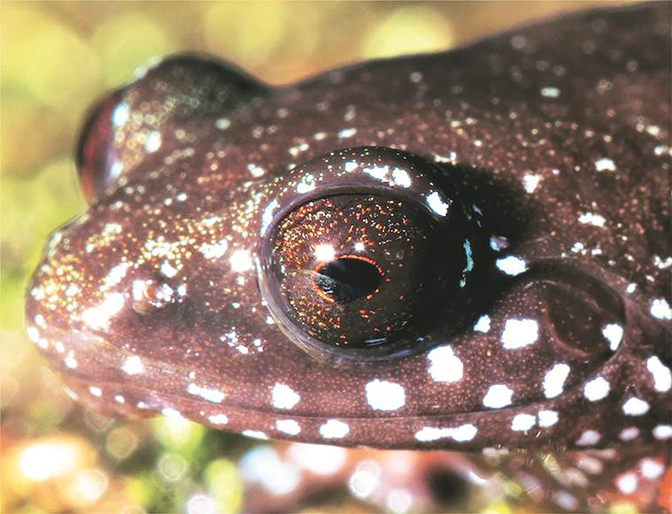 Astrobatrachus Kurichiyana, Frog species, types of Frog species, oldest Frog species, india Ghats Frog species, indian express