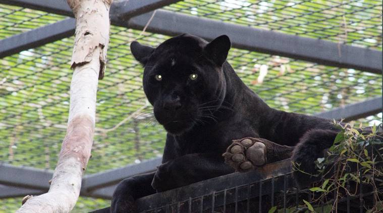Woman Climbed Into Jaguar Pen at Zoo and Mauled, Twitter Team Jaguar