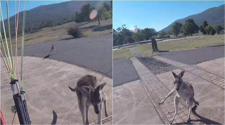 Watch: Paraglider Lands Perfectly, Only To Be Attacked By Angry Kangaroo