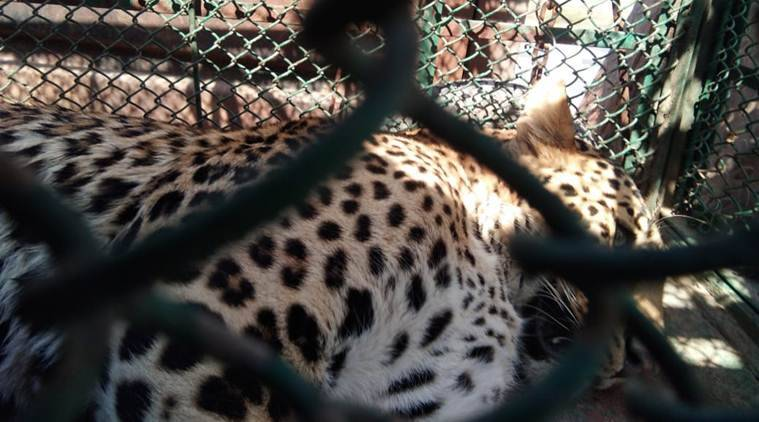 According to officials, the animal is a 'fully adult male' weighing around 60 kilograms. (Express photo)