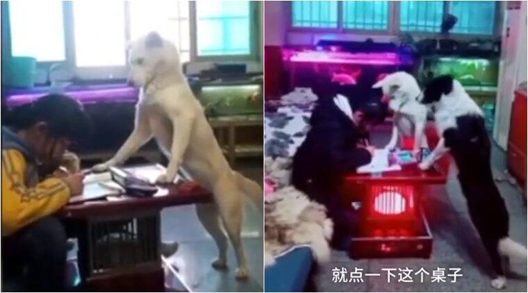 man train dog to supervise daughter, dog helps with homework, smart dog videos, dog videos, cute animal video, viral dog videos, off news, funny news, indian express