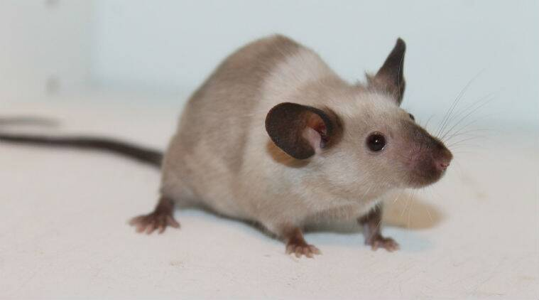 mice, infrared vision, nanoparticles, nanoparticles injetion infrared vision, mice infrared vision, mice nanoparticle injection, mice vision, nanoparticle infrared vision