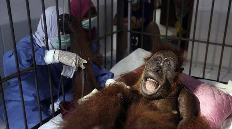Hope, An Orangutan, Was Shot 74 Times. She Was Blinded But Survived