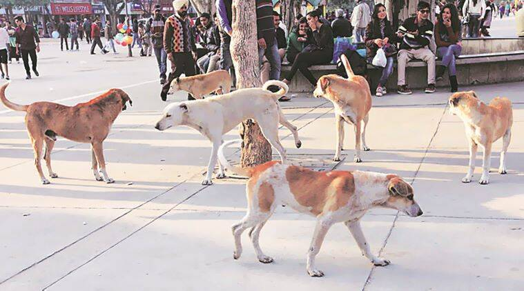 stray dogs, stray dog menace, dog bite, stray dog menace in chandigarh, chandigarh stary dog menace, dog bite cases in chandigarh, stray dog bite cases in chandigarh, chandigarh new, indian express