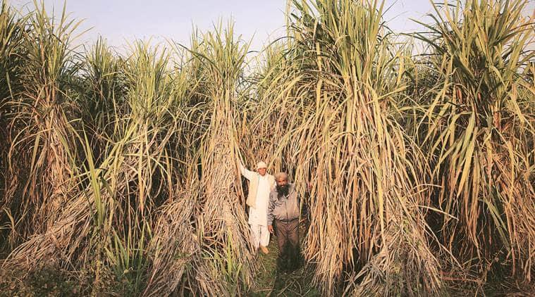sugarcane, sugarcane farmers, up farmers, sugarcane production, sugarcane farning, farmer dues, farmer loans, rural distress, agrarian crisis, indian express