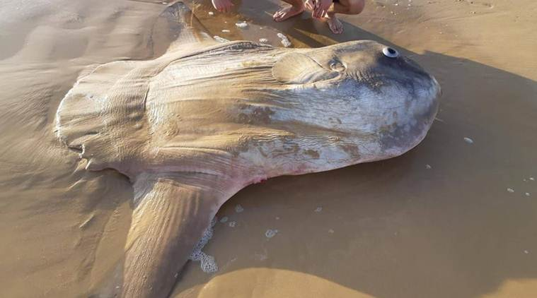 Giant sunfish washes ashore in Australia, leaves locals stunned