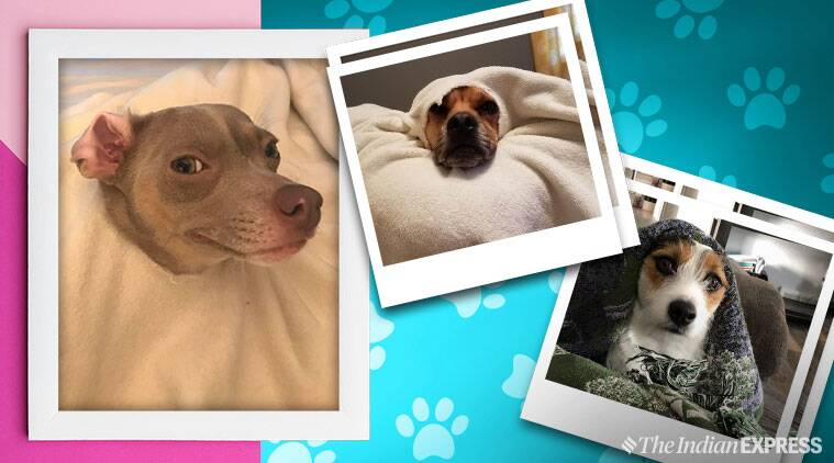 cute dog stories, dog caught red handed, dogs head stuck in blankets, adorable dog photos, cute animal thread, viral animal threads, viral news, indian express