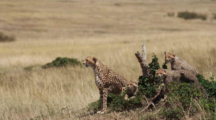 cheetah, kenya, kenya travel diaries, kenya cheetah, kenya animals, indian express, indian express news