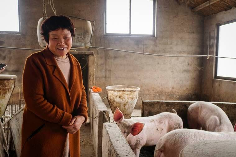 Chinese farmer with pigs