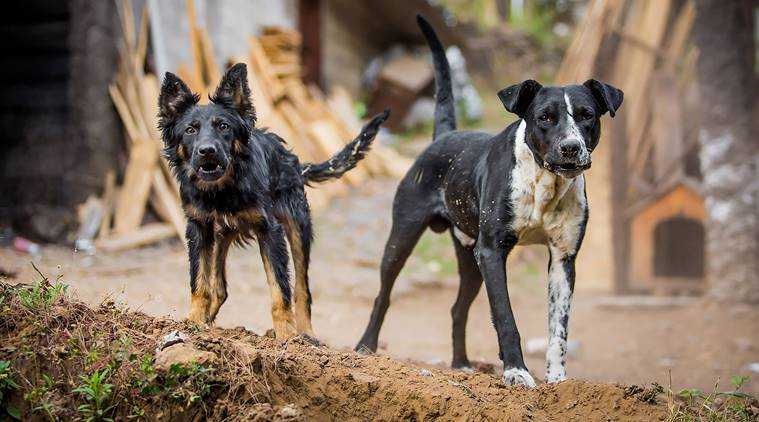 dog, stray dogs, rabies, rabies vaccination, indian express
