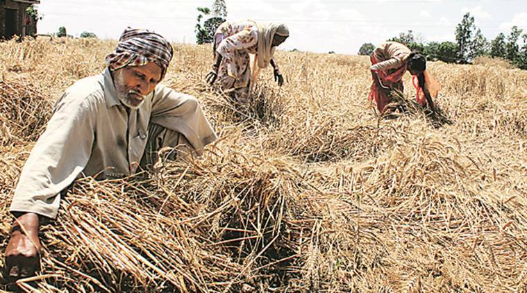 crop damaged, Punjab crop damaged, punjab crops, punjab fields, crop field, indian express