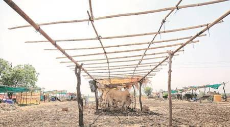 cattle camp, maharashtra cattle camp, maharashtra news, maharashtra news, indian express