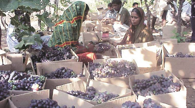 Maharashtra: Grape exports to touch 3-year high