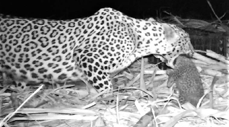 Pune: Forest dept rescues two leopard cubs from sugarcane farms, reunites them with mothers