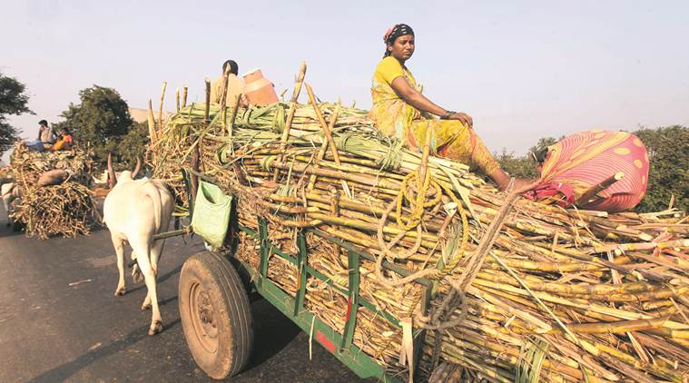 Second year in a row, Maharashtra crosses highest sugar production mark