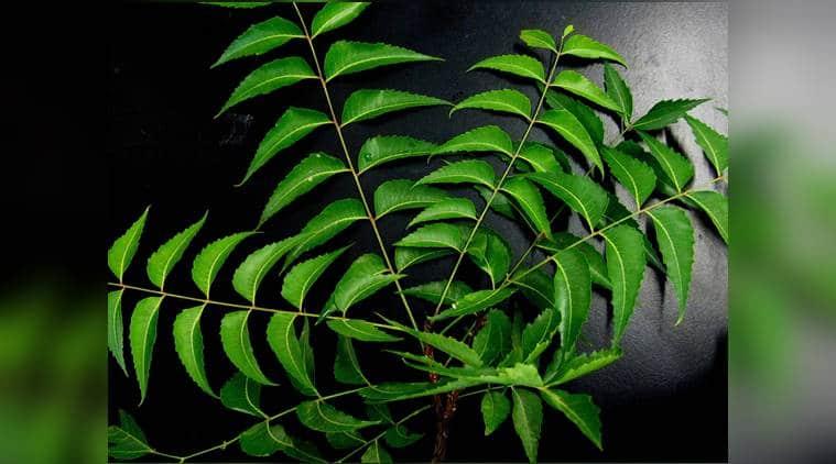 Neem, benefits of neem, indianexpress, neem oil, neem facepack, indianexpressonline, indianexpress.com, vepampoo rasam, neem flower rasam, neem herb, anti-ageing, anti-fungal, anti-bacterial,