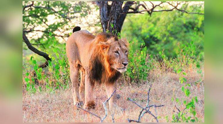 wildlife, animals, lions, Rhesus macaques, Ranjit Lal, indian express