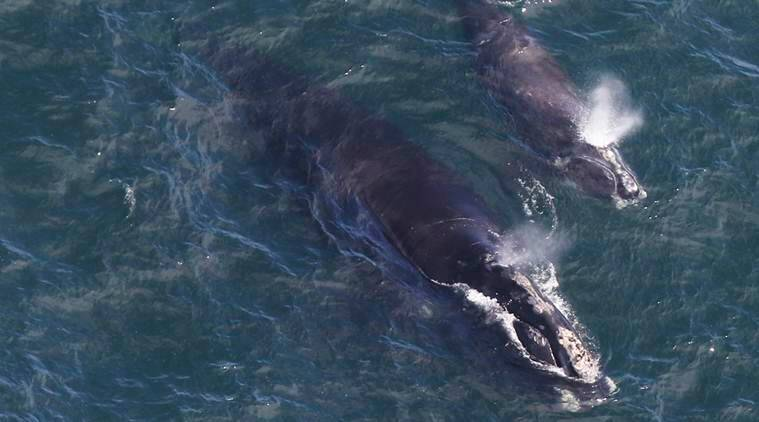 Endangered whale experiencing mini-baby boom off New England