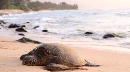turtles, places to see turtles , turtles in india, turtles in world, world turtles day