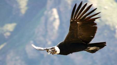 lifepositive, condor story, positive, keep faith and take the leap, faith, confidence, struggle, life, message, positivity, majestic bird, life lessons, children, parents, adults, job crisis, love, relationships, doubts, advices, life advice, indianexpress.com, indianexpressonline, indianexpress,