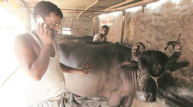 Pune drought-hit dairy farmers in for fresh shock: Lower procurement price