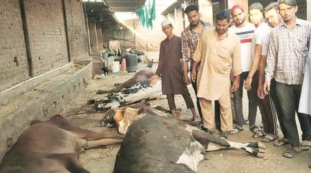 Ludhiana: Stale fodder claims lives of 15 cows at Malerkotla farm, 42 others critical