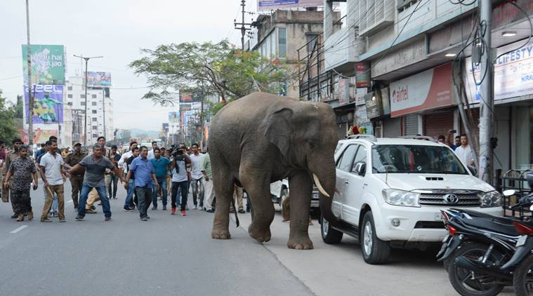After keeping Guwahati on edge for almost a day, Maharaj is back in the forest