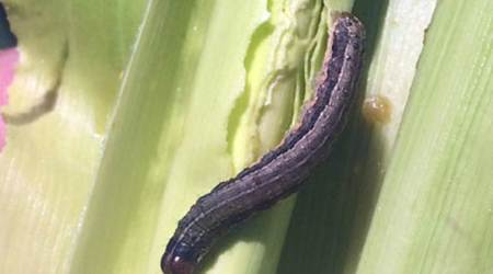 Fallarmy worm, Manipur, pest, crops, Maize crops, Indian Council of Agricultural Research, Lamphel, Langol, Indian Express