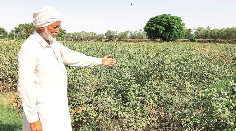 In Haryana's Fatehabad, family facing GM brinjal storm asks 'What's our crime?'