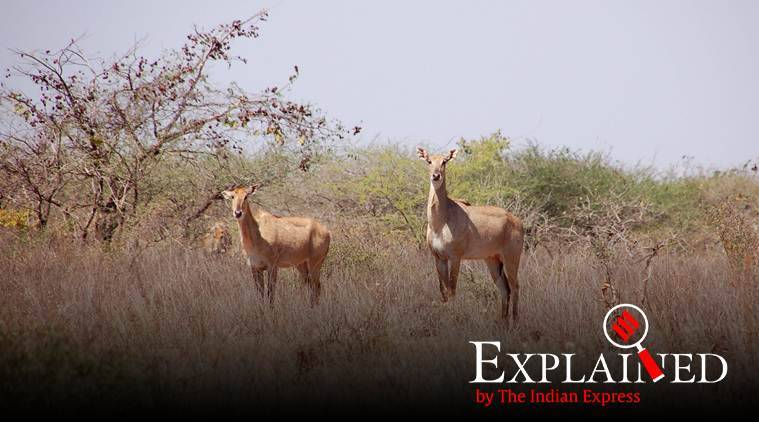 Explained: Why Gujarat conducts a census of herbivores in Gir forest