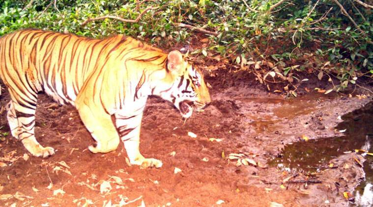 In a first, presence of tiger recorded at Goa national park