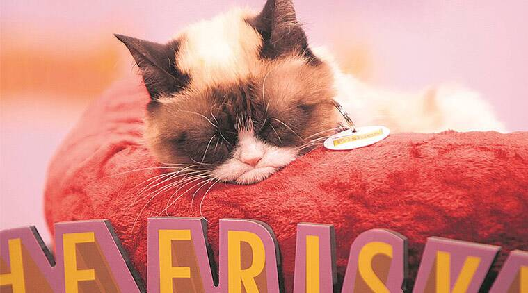 grumpy cat, grumpy cat memes, indian express, indian express news