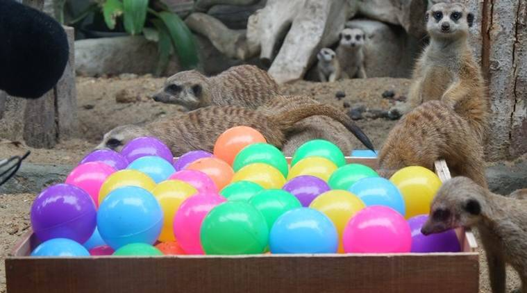 Thailand: Four new baby meerkats melt hearts at Songkhla zoo