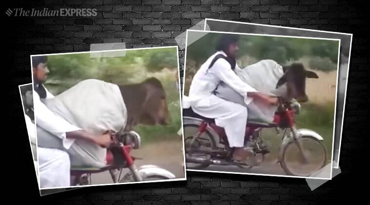 Pakistan, cow, cow on bike, Pakistan cow man, man with cow bike, man rides bike cow, cow, beef, Pakistan beef, viral video, trending, indian express, indian express news