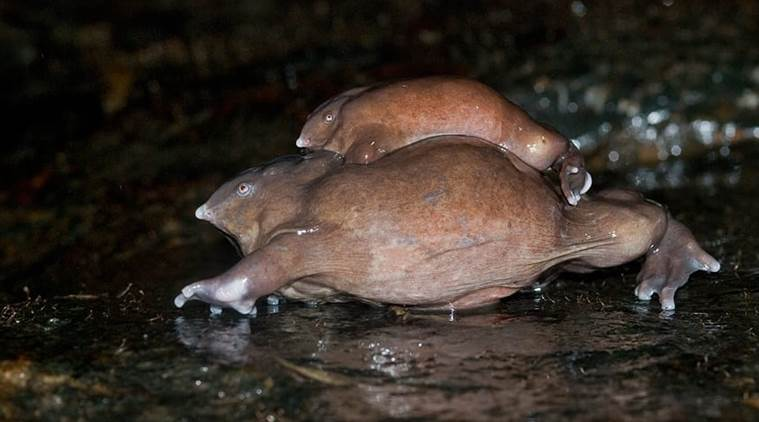 Purple frog, believed to have shared space with dinosaurs, set to be crowned Kerala's state amphibian